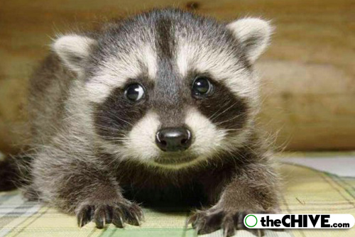 world cutest raccoons lead Worlds largest collection of cute raccoons (35 Photos)