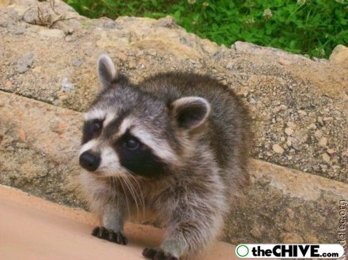 worlds cutest raccoons 18 Worlds largest collection of cute raccoons (35 Photos)