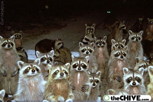 worlds cutest raccoons 19 Worlds largest collection of cute raccoons (35 Photos)