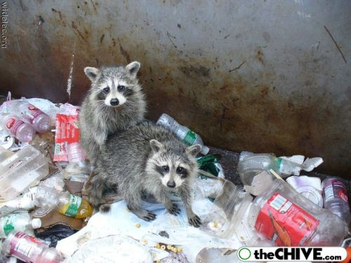 worlds cutest raccoons 22 Worlds largest collection of cute raccoons (35 Photos)