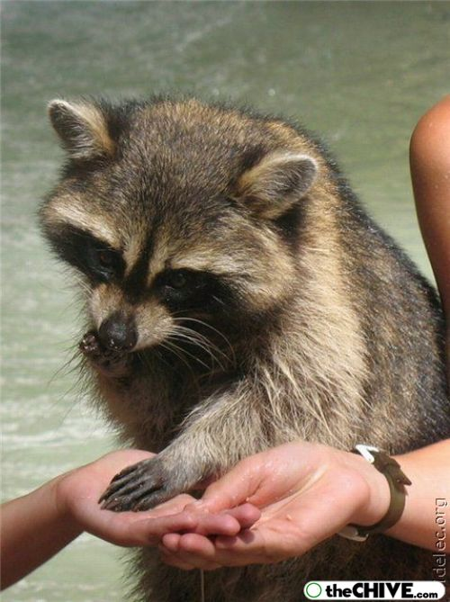 worlds cutest raccoons 23 Worlds largest collection of cute raccoons (35 Photos)