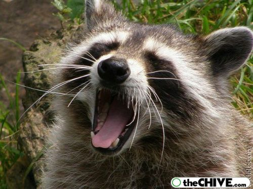 worlds cutest raccoons 25 Worlds largest collection of cute raccoons (35 Photos)