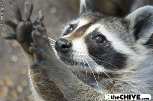 worlds cutest raccoons 26 Worlds largest collection of cute raccoons (35 Photos)