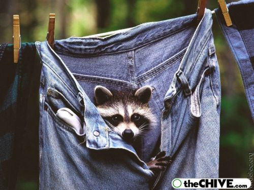 worlds cutest raccoons 28 Worlds largest collection of cute raccoons (35 Photos)