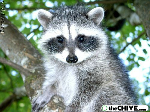 worlds cutest raccoons 31 Worlds largest collection of cute raccoons (35 Photos)