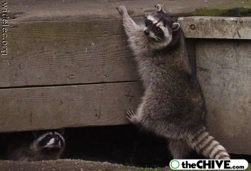 worlds cutest raccoons 32 Worlds largest collection of cute raccoons (35 Photos)