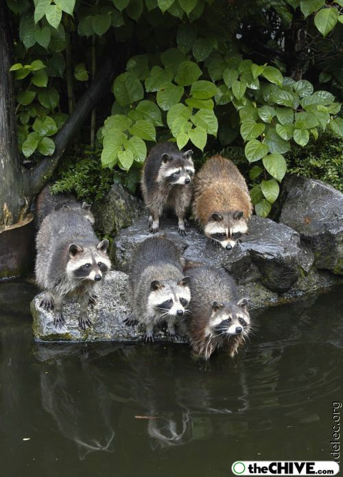 worlds cutest raccoons 33 Worlds largest collection of cute raccoons (35 Photos)