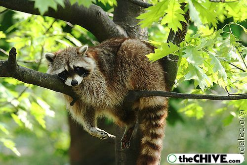 worlds cutest raccoons 34 Worlds largest collection of cute raccoons (35 Photos)