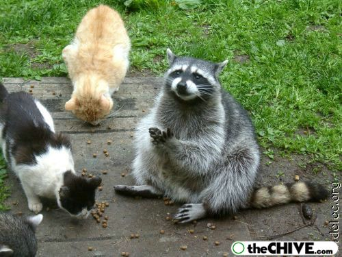 worlds cutest raccoons 35 Worlds largest collection of cute raccoons (35 Photos)
