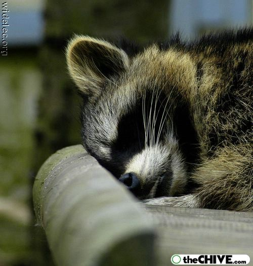 worlds cutest raccoons 36 Worlds largest collection of cute raccoons (35 Photos)