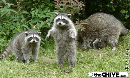 worlds cutest raccoons 37 Worlds largest collection of cute raccoons (35 Photos)