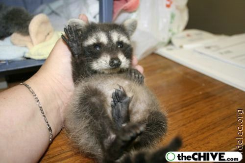 worlds cutest raccoons 38 Worlds largest collection of cute raccoons (35 Photos)