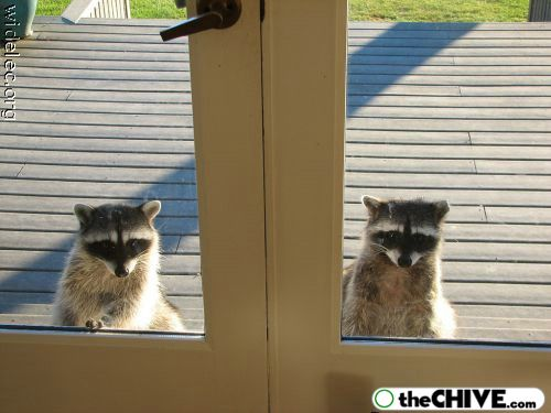worlds cutest raccoons 39 Worlds largest collection of cute raccoons (35 Photos)