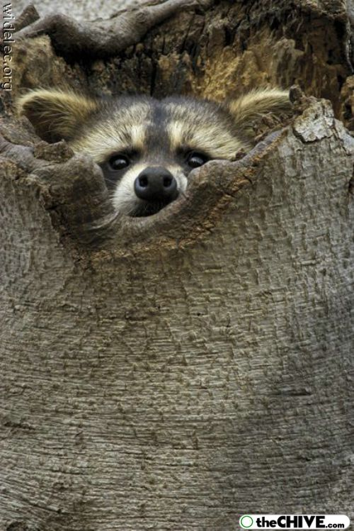 worlds cutest raccoons 4 Worlds largest collection of cute raccoons (35 Photos)