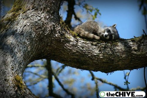 worlds cutest raccoons 40 Worlds largest collection of cute raccoons (35 Photos)