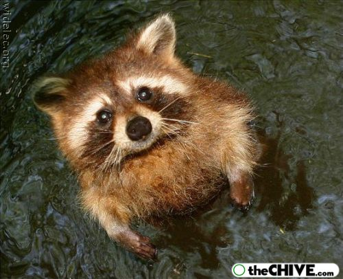 worlds cutest raccoons 8 Worlds largest collection of cute raccoons (35 Photos)