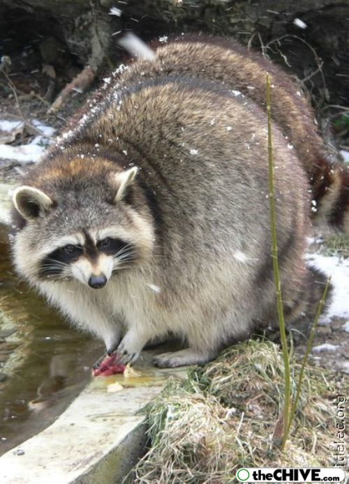 worlds cutest raccoons 9 Worlds largest collection of cute raccoons (35 Photos)