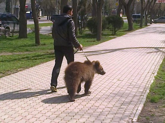 Bear in russia being walked on a leash