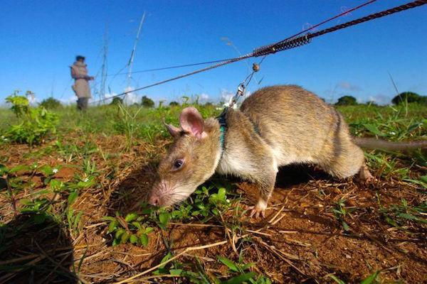 rats in africa are saving lives in the most badass way possible 10 photos 2 Rats in Africa are saving tons of lives in the most badass way possible (10 Photos)