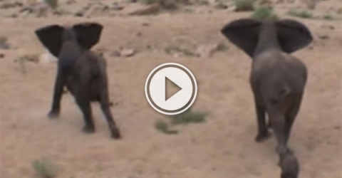 Elephants protect baby from wild dogs (Video)