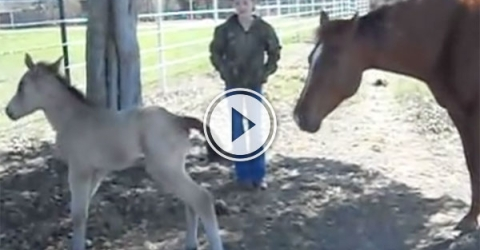 Foal sneezes and falls over (Video)