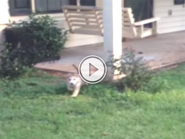 A Husky puppy falling into a hole (Video)