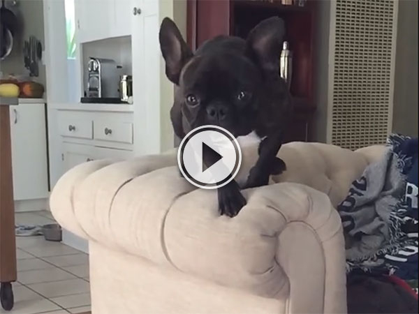 French Bulldog collides with other dog (Video)