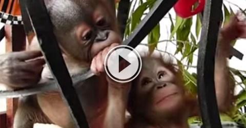 Baby orangutans meet (Video)
