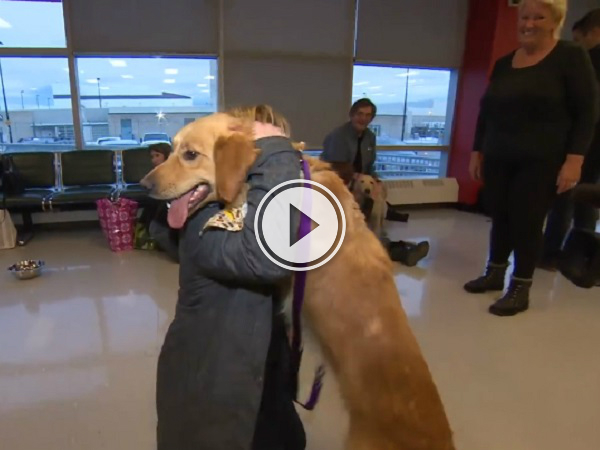 Rescued Golden Retrievers arrive in Toronto (Video)
