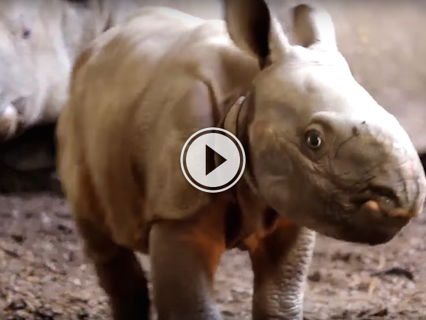 Toronto's got a new baby rhino, and now I think I want one! (Video)