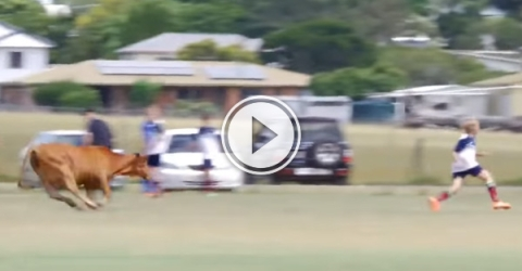 Cow runs on the pitch and it doesn't go well