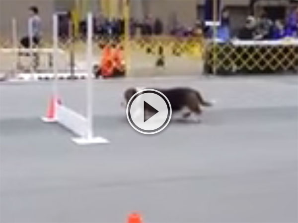 Basset Hound takes agility course at a leisurely pace (Video)