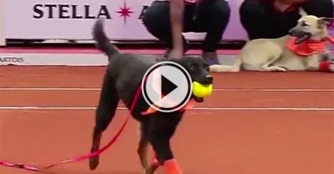 Street dogs as 'ball boys' in tennis match (Video)