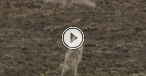 Owl fights back against wolves (Video)