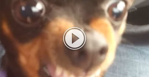 Angry dog doesn't want to go to Mummy (Video)