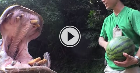Hippos eat watermelons in Japanese zoo (Video)