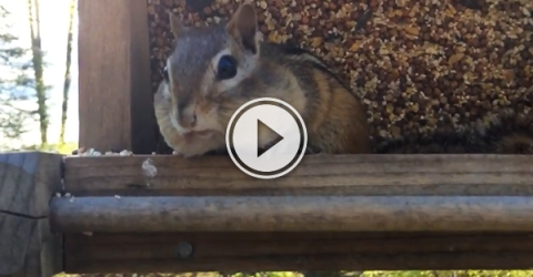 Video grab of a chipmunk caught red-handed