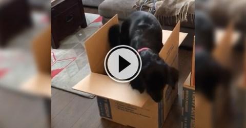 Cute video of a black mutt in a carton box.