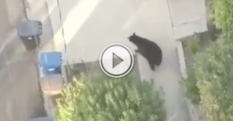 Dude is texting and walking, when suddenly a bear appears! (Video)