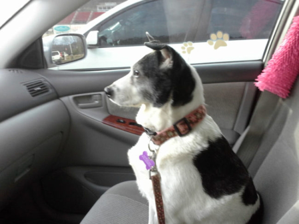 A black and white mutt inside a car, looking out of the window