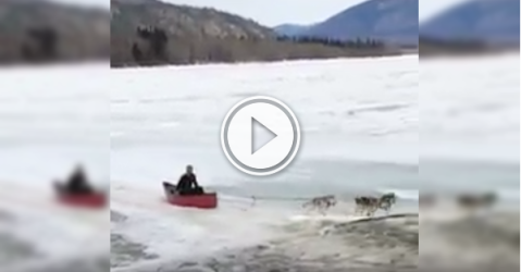 Nothing like a dog powered canoe to get you to work! (Video)