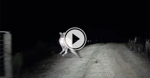 Kangaroo attacks car in Australia (Video)