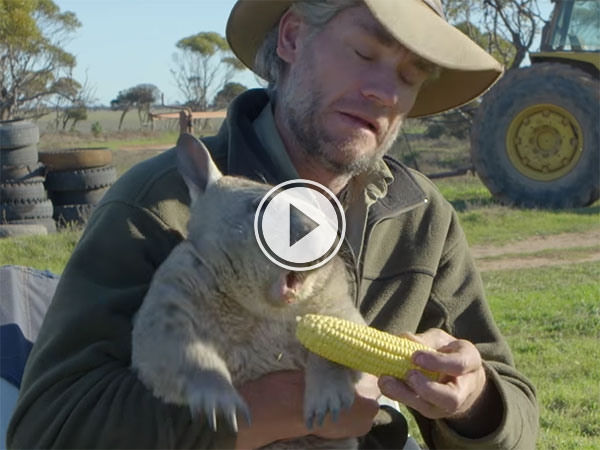 Wombat farts and eats corn on the cob like a boss (Video)