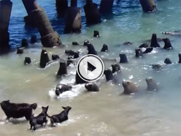 Operation Sea Lion in full effect (Video)