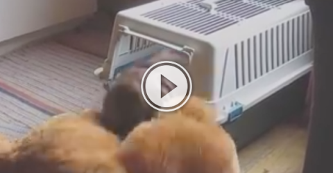 This puppy's determined to get his friend into bed with him (Video)