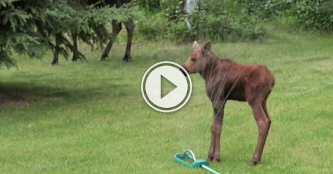 Baby Moose has an epic fail while sprinkler running! (Video)