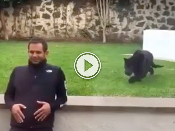 The big black cat walks stealthily before pouncing on the man (video)