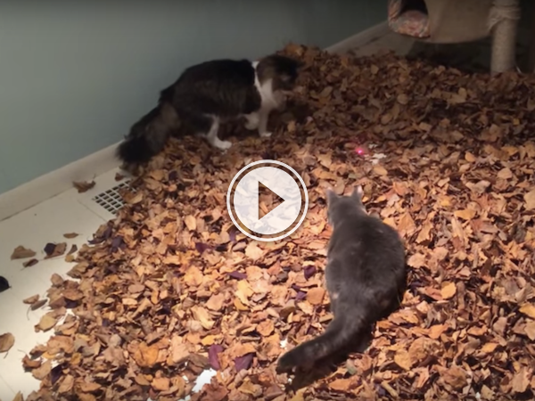 funny videos of cat leaf jumping and playing with laser pointer.