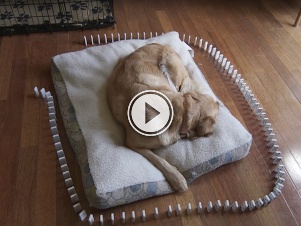 Waking he dog up sometimes involved dominoes (Video)
