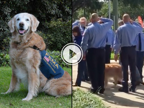 A brown dog and men in blue uniform saluting the dog!